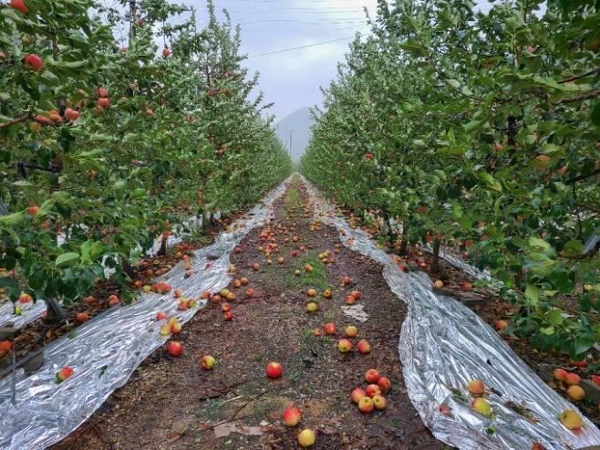 ▲장마와 연이은 태풍으로 수많은 사과들이 떨어져있다. 사진제공=심천택