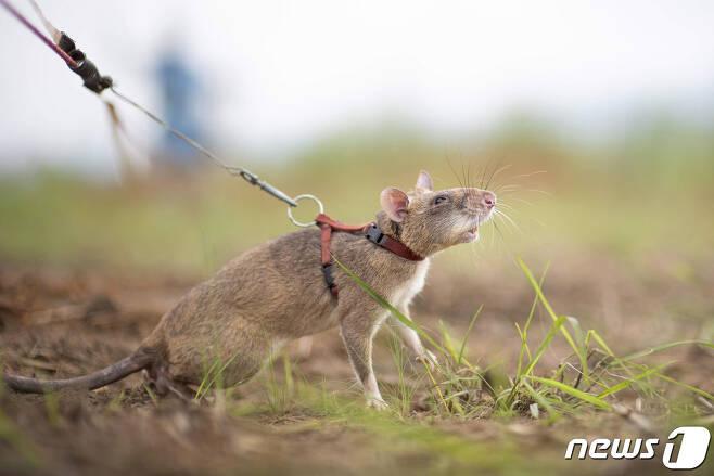 지뢰탐지쥐 (APOPO 웹 캡쳐) © 뉴스1
