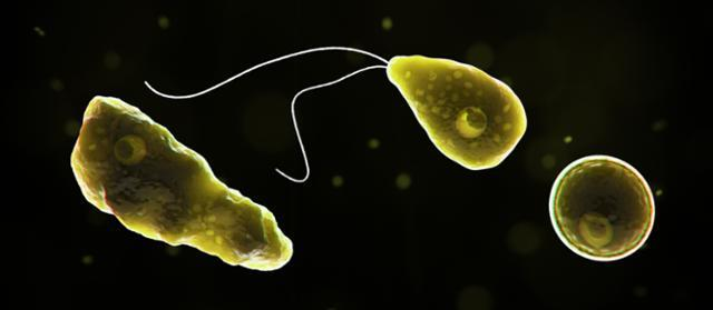 '뇌 먹는 아메바'로 불리는 네글레리아 파울러리. 미 질병통제예방센터 캡처