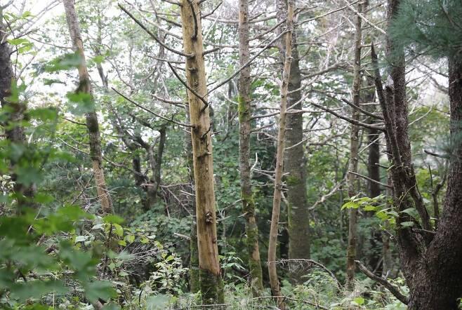지난달 15일 지리산에서 찾은 고사한 구상나무들. 구상나무가 말라 죽는 이유는 수분 조건의 변화로 추정된다. 전문가들은 기후변화로 수분 조건이 달라지면 아고산대 식물인 구상나무도 영향을 받을 것이라고 전망한다. 박종식 기자 anaki@hani.co.kr