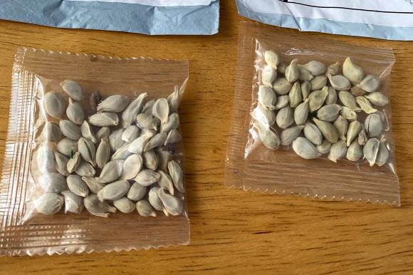 중국에서 미국 워싱턴주로 배달된 소포에서 나온 정체불명의 씨앗. 2020.7.29 (사진=로이터 연합뉴스)