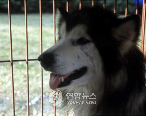 늑대개 [연합뉴스 자료사진]