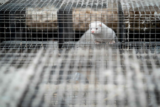 덴마크 네스트베드 인근 밍크농장에서 살처분을 앞둔 밍크가 우리 밖을 내다보고 있다. 해당 농장은 새끼를 포함해 밍크 3000마리를 살처분해야 할 판이다./사진=AFP 연합뉴스