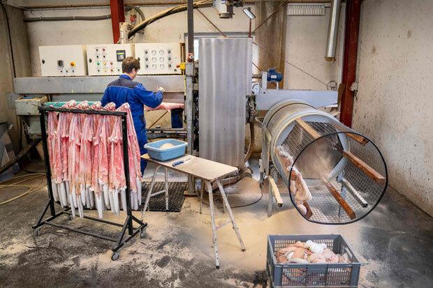 덴마크의 한 밍크 농장에서 작업자가 벗겨낸 가죽을 처리하고 있다. 모피는 3일간 냉동고 보관 후 팔려 나가는데, 이 농장은 코로나19 영향권 밖이라 모피 생산이 가능하다./사진=AFP 연합뉴스
