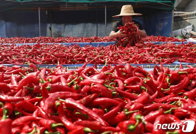 25일 오후 울산시 울주군 서생면 나사마을에서 한 농민이 햇볕에 빨간 고추를 말리고 있다. 2020.8.25/뉴스1 © News1 윤일지 기자