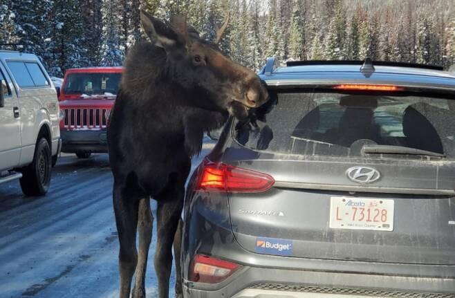 차량 위에 남아있는 제설용 소금을 먹기 위해 접근한 캐나다 무스