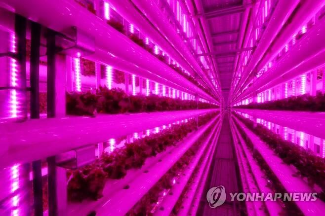 LED 기술 사용한 실내 식물 재배 (옥천=연합뉴스) 이승민 기자 = 20일 오후 충북 옥천군 동이면 넥스트온 옥천사업장에 식물들이 LED 빛으로 광합성을 하며 자라고 있다. 2019.12.21 logos@yna.co.kr
