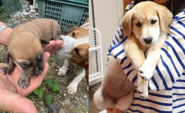 """""""강아지 확대범을 찾습니다"""" 손바닥만 했던 비글 브라우니가 초등학생 아이에게 한아름 안겨 있다."""