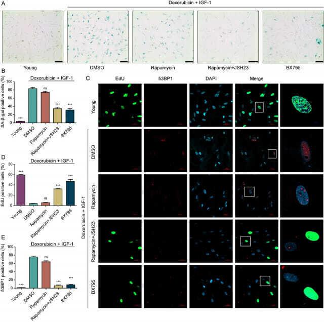 세포 노화 역행에 대한 표현형 검증 이미지
