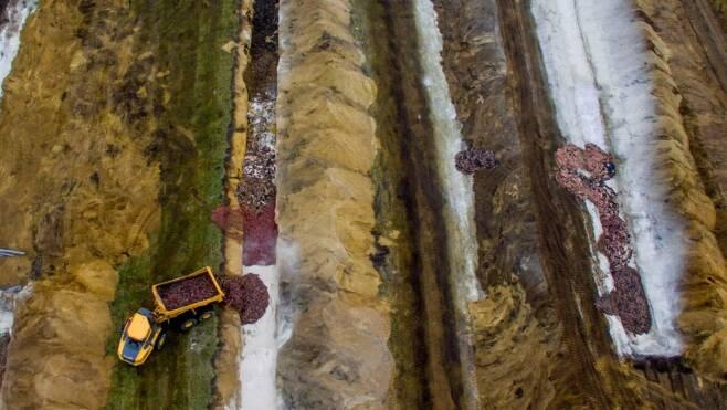 매장되는 밍크 사체./사진제공=AFP/뉴스1