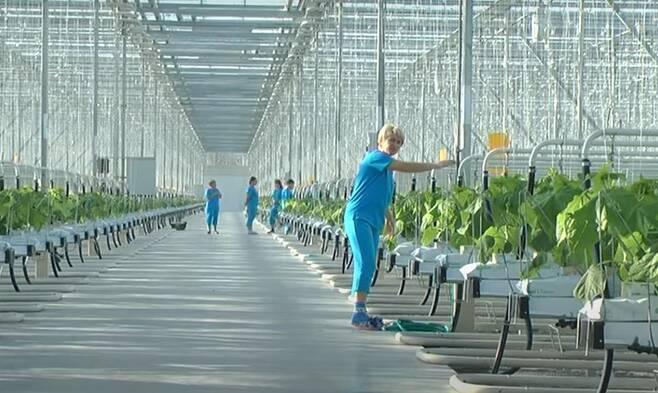 연해주에서 실제 운영 중인 온실재배 기업의 모습. [현지업체 'surazhevka.ru' 홈페이지 캡처. 재배포 및 DB화 금지]