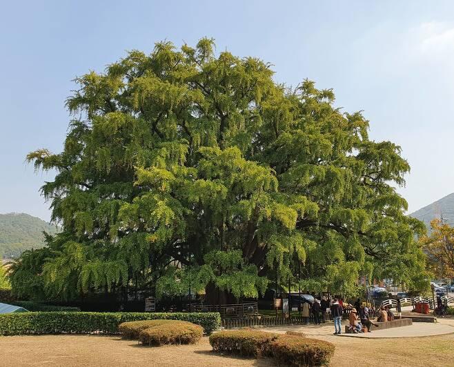 인천 장수동 은행나무.(문화재청 제공)© 뉴스1