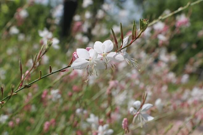 가우라. 나비바늘꽃이라고도 부른다.
