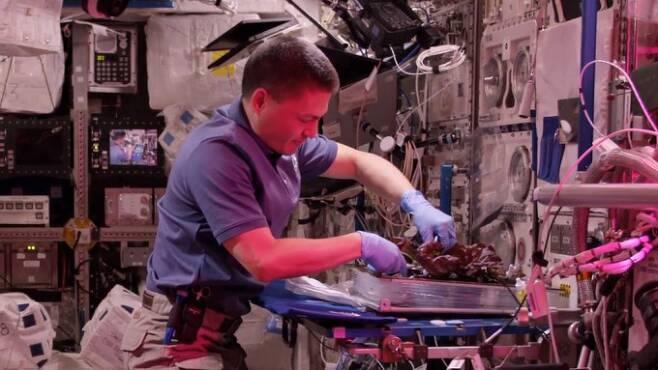 우주비행사가국제우주정거장(ISS)에서 상추를 재배하고 있다. NASA 제공