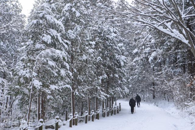 눈 덮인 축령산 편백 숲. 주 산책로는 추암마을에서 금고마을까지 이어지는 임도 5.8㎞다.