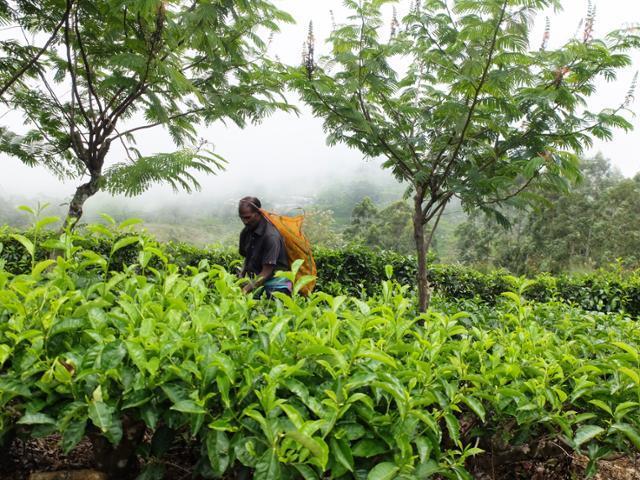 하푸탈레에는 해발 1,400m 고지에서 100% 손으로만 딴 찻잎을 취급하는 농장이 이어진다. ⓒ강미승
