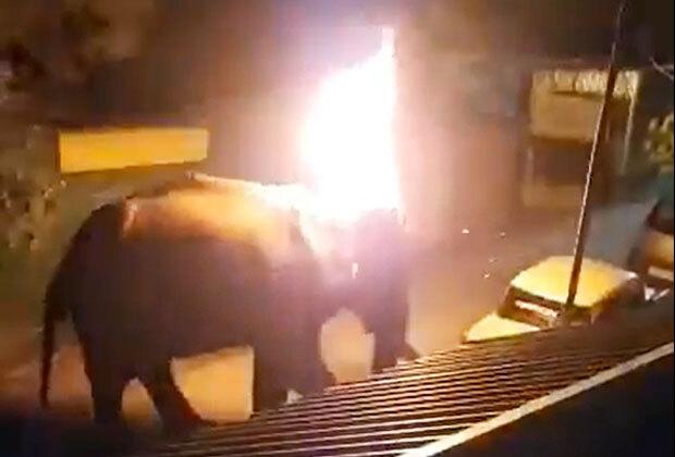 먹이를 찾아 헤매던 코끼리가 사람이 던진 불덩이에 맞아 죽는 안타까운 사건이 발생했다.