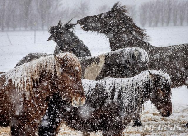 [베르하임=AP/뉴시스] 독일 프랑크푸르트 북쪽의 베르하임 소재 품종개량 사육장에서 24일 아이슬란드 산 키 작은 말들이 폭풍 속의 눈을 그대로 맞고 있다. 이 말들은 조랑말에 가깝지만 오래 살고 튼튼하다. 2021. 1. 24.