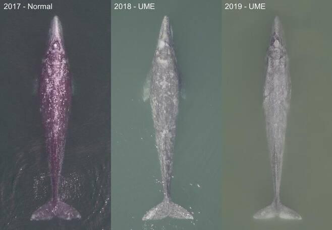 멕시코 산 이그나시오 석호에서 드론으로 촬영한 귀신고래 성체의 체형 변화. 왼쪽부터 2017, 2018, 2019년 모습이다. 점점 수척해지는 양상이 보인다. 왼쪽부터 프레드릭 크리스티안슨, 파비안 로드리게스-곤살레스, 헌터 워릭 제공.