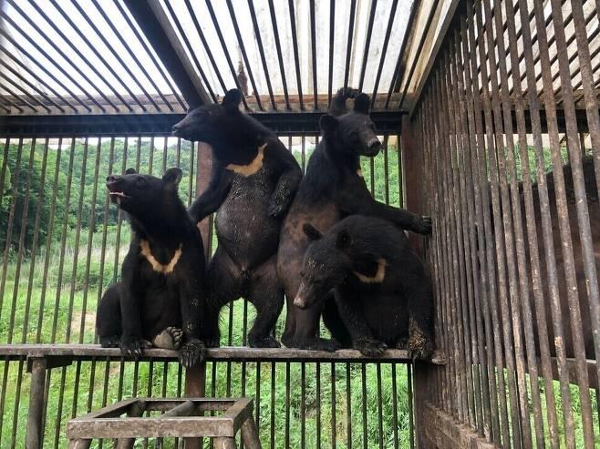 국내의 한 사육곰 농가의 철창 속에 있는 사육곰들. 중성화 수술을 통해 추가 증식을 막긴 했으나, 열악한 환경에서 고통받고 있다. 동물자유연대 제공