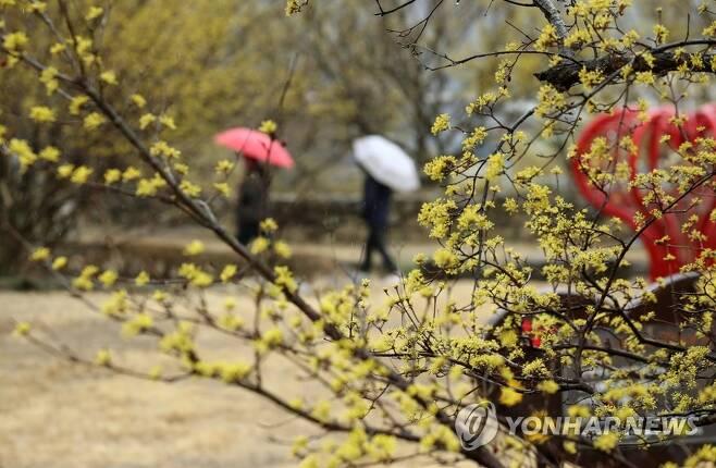 '봄비 맞으며 꽃길 거닐어요' [연합뉴스 자료사진]