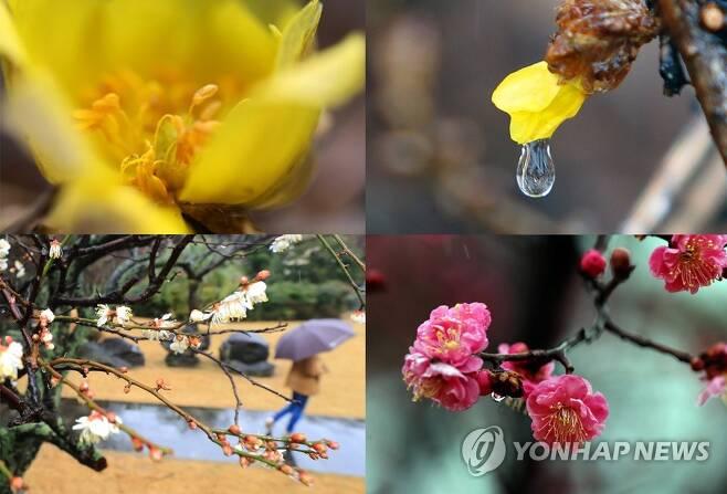봄을 재촉하는 꽃, 그리고 비 [연합뉴스 자료 사진]
