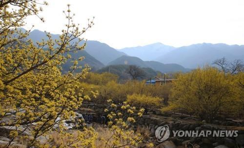 봄 알리는 산수유꽃 [연합뉴스 자료 사진]