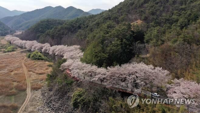 벚꽃길 따라 [연합뉴스 자료사진]