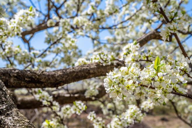 중랑캠핑숲 배꽃