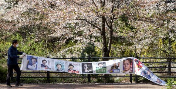 8일 오전 서울 진관동주민센터 관계자들이 은평뉴타운 벚꽃길 주변에 붙어 있던 선거벽보를 제거하고 있다. 연합뉴스