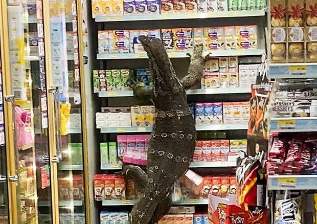 7일 태국 매체 '타이랏'은 거대 왕도마뱀 한 마리가 편의점에 들이닥쳐 손님들이 혼비백산하는 소동이 빚어졌다고 보도했다.