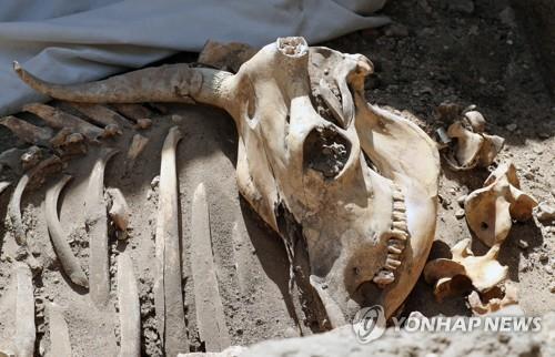이집트 룩소르 고대 도시유적지에서 발굴된 동물의 유골 [epa=연합뉴스]