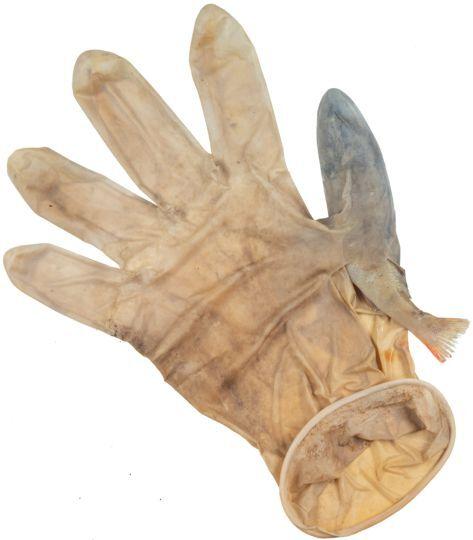 네덜란드의 운하 청소 과정에서 라텍스 장갑 손가락에 끼어 죽은 물고기가 발견됐다./네덜란드 레이덴대