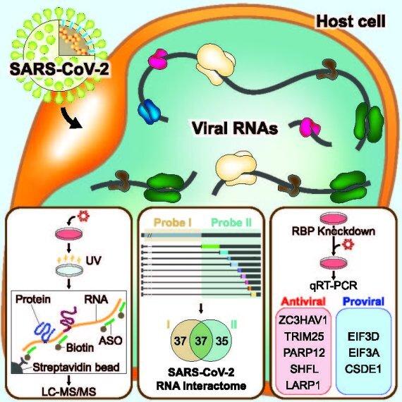 이번 연구로 사스코로나바이러스-2와, 같은 베타 코로나바이러스이자 감기를 일으킨다고 알려진 HCoV-OC43의 RNA에 결합하는 단백질체의 비교분석을 통해 이들이 상당부분 같은 숙주 단백질들을 이용한다는 것을 알아내었고, LARP1, ZC3HAV1, TRIM25, PARP12, SHFL 등 17개의 항바이러스 단백질들이 존재함을 밝혔으며, EIF3D, CSDE1 등 8개의 단백질은 바이러스 증식에 이용된다는 것을 규명했다.