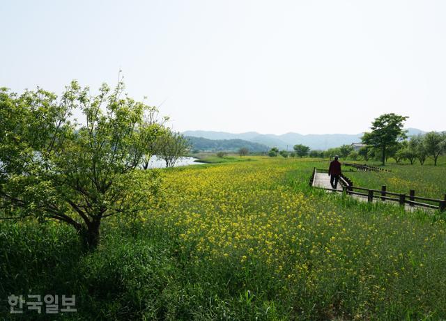 식영정 주변 강변은 공원으로 조성돼 있다. 현재 노란 유채꽃이 마지막 봄 색깔을 뽐내고 있다.