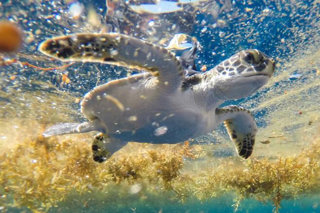 갈색 모자반 해조류가 떠 있는 사르가소해에서 위성 위치추적장치를 매단 채 헤엄치는 어린 푸른바다거북. 구스타보 스타헬린, 센트럴플로리다대 제공