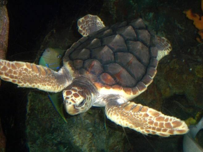 붉은바다거북은 등딱지가 붉은빛이다. 푸른바다거북과 마찬가지로 사르가소해에서 성장기를 거치는 것으로 추정된다. 위키미디어 코먼스 제공
