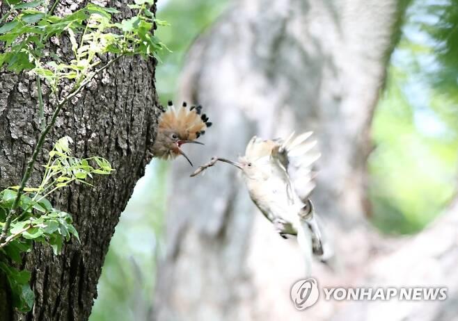 먹이 주는 하얀 후투티 (경주=연합뉴스) 손대성 기자 = 12일 경북 경주시 안강읍 옥산서원 인근 나무에서 하얀색 후투티가 새끼에게 먹이를 주고 있다.      일반적으로 후투티는 검은색과 흰색 줄무늬가 있는 날개와 꽁지, 검은색의 긴 댕기 끝을 제외하면 머리와 몸통은 갈색을 띤다.      하얀색 후투티가 발견된 것은 극히 드문 일이다. 2021.5.12 sds123@yna.co.kr