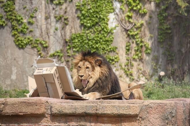/서울대공원 제공 서울대공원의 사자가 종이 상자를 가지고 놀고 있다