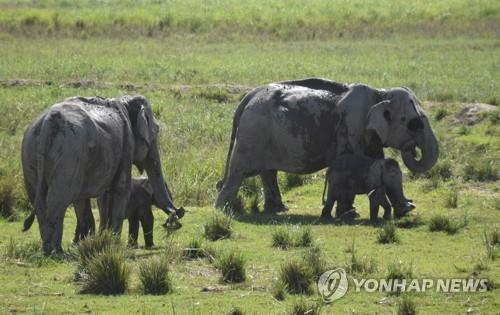 인도 동북부 아삼주 카지랑가 국립공원의 코끼리. [EPA=연합뉴스]