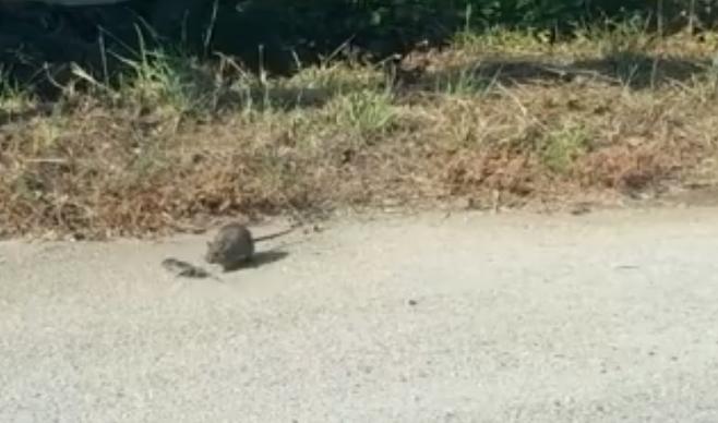 출처: https://wamiz.com/rongeurs/actu/ratte-heroique-sauve-petit-attaque-serpent-video-jour-8154.html