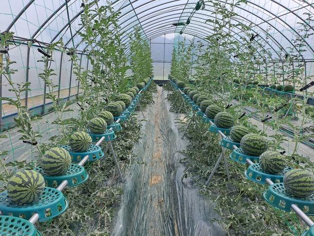 [세종=뉴시스]  농촌진흥청은 8일 지상에서 최대 1m 이상 높은 받침대에서 수박을 재배하는 수직재배장치를 가발했다고 밝혔다. (사진=농진청 제공) *재판매 및 DB 금지