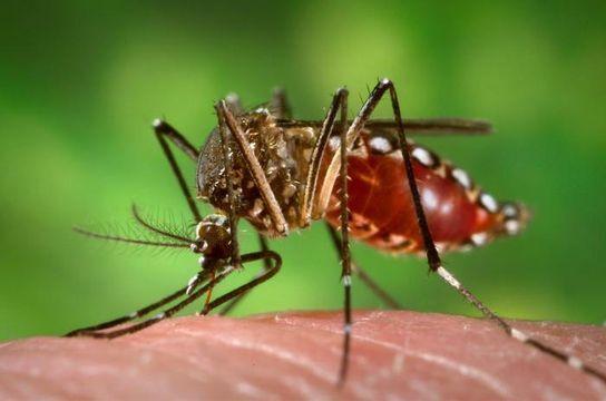 지카(Zika) 바이러스를 매개하는 '이집트 숲 모기'