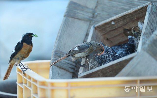 경북 안동시 와룡면에 있는 한 농가. 딱새 부부가 제 몸집보다 큰 새끼 뻐꾸기의 입에 먹이를 넣어주고 있습니다. 2020년 6월 28일 촬영.