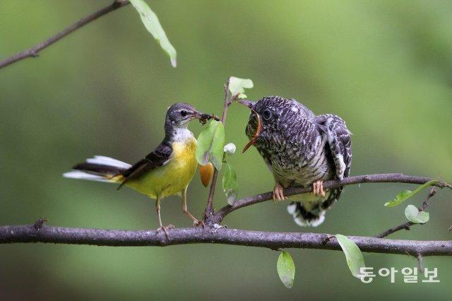 노랑할미새(왼쪽)가 둥지를 나온 뻐꾸기 새끼에게 먹이를 주고 있습니다. 경기 과천시, 2019년 7월 1일 촬영.