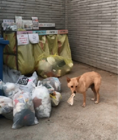 경기도 용인의 한 동네를 떠돌던 믿음이가 새끼에게 젖을 물리기 위해 쓰레기봉투를 헤집는 모습. 이서연씨 제공