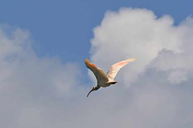 우포습지 창공을 힘차게 날아가는 따오기 성체.