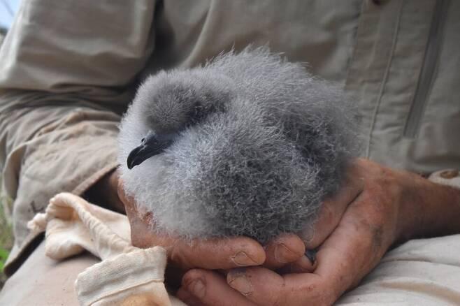 땅속 둥지에서 자라는 검은날개슴새 새끼. 필립 섬에서 가장 개체수가 많은 바닷새이다. 트루디 채트윈 제공.