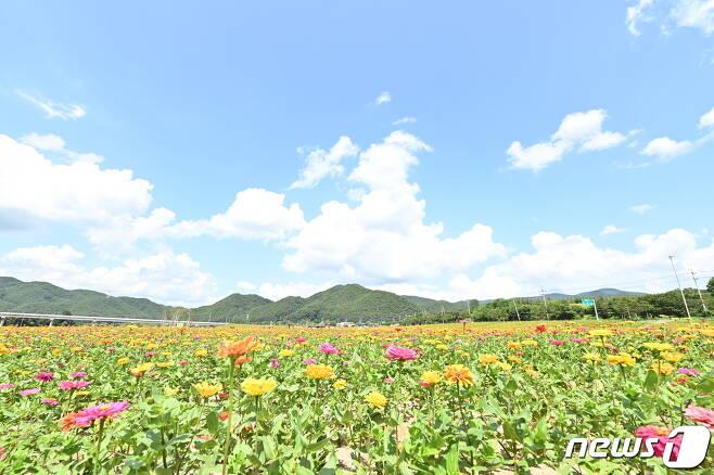 백일홍 300만 송이가  피어난 산소카페 청송정원.(청송군 제공) © 뉴스1