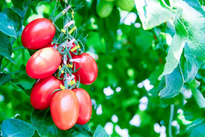 일본 사나텍 시드 연구진은 크리스퍼 유전자 가위로 토마토의 유전자를 교정해 수면 촉진과 불안 감소 효과를 내는 물질이 5배나 많이 나오게 했다./사나텍 시드